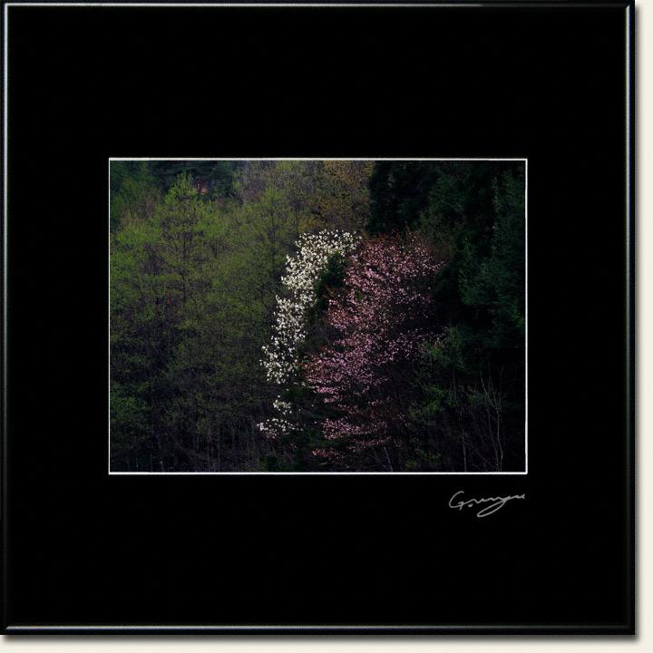 新芽の中に重なるコブシと山桜