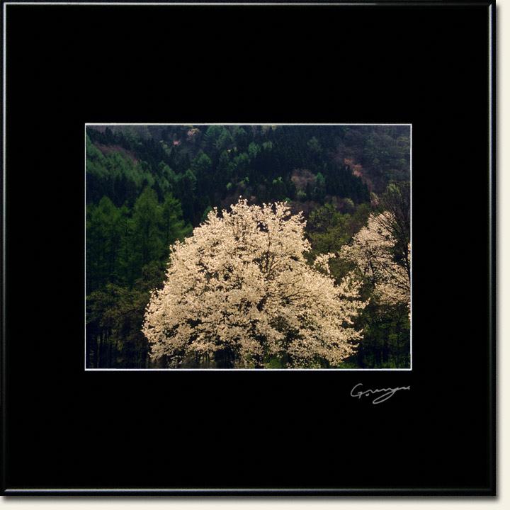 新緑の山に輝く白いコブシの大樹