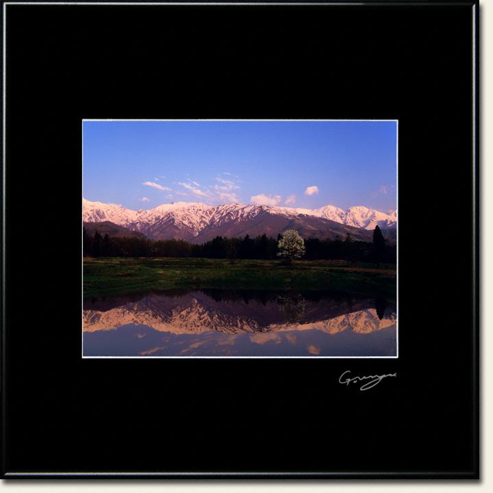 田んぼに映る残雪の北アルプスの朝焼けとコブシ