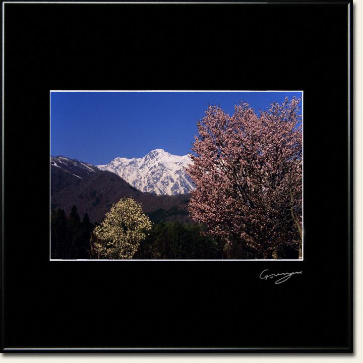 青空と残雪の武田菱とコブシと桜