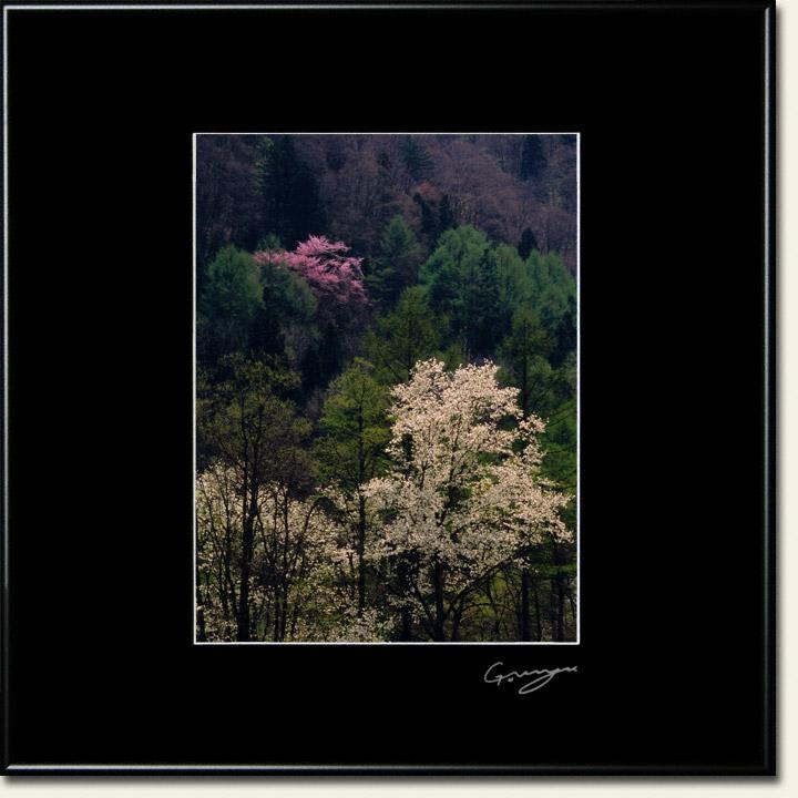 山桜と新緑のカラマツの山とコブシ