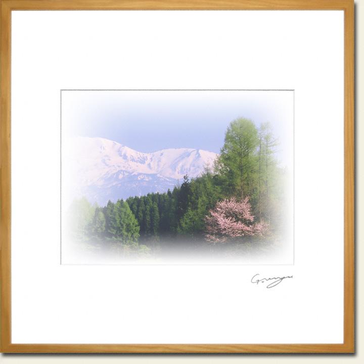 残雪の北アルプスと新緑のカラマツと山桜