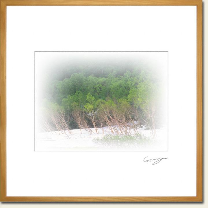 残雪と新緑のダケカンバの林