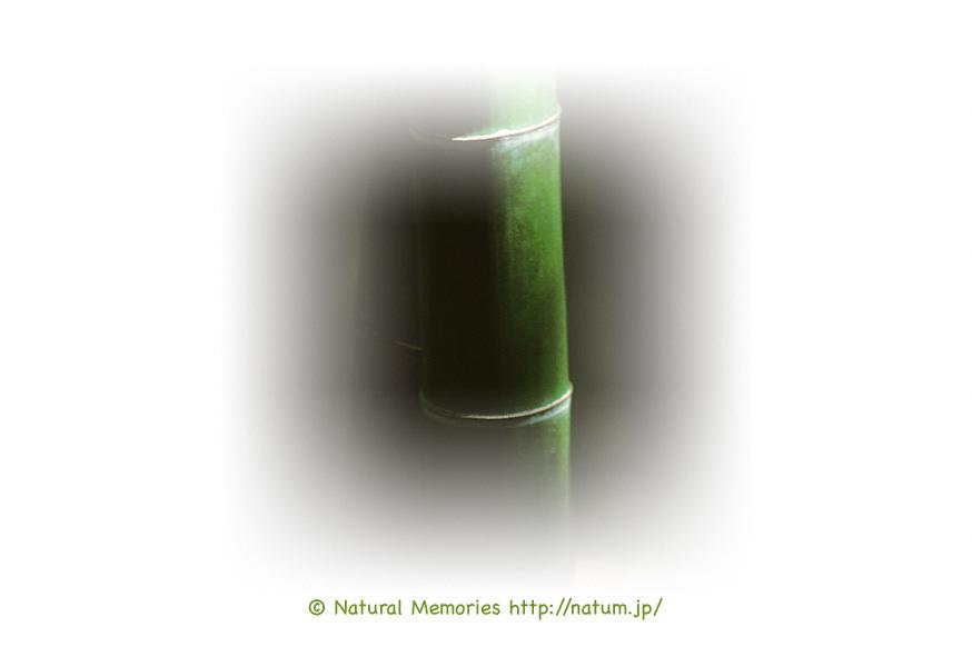 保護中: 林の中の竹