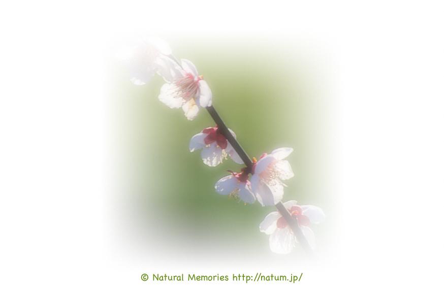 保護中: 陽光の中の梅