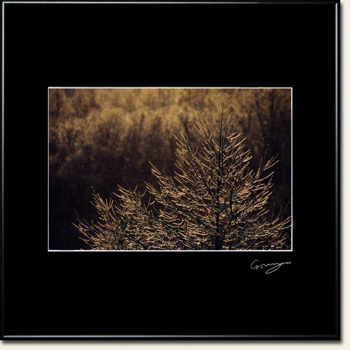 朝日に輝く凍ったカラマツの枝