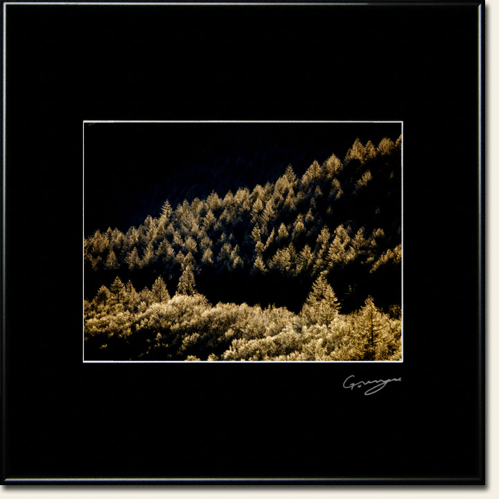 山陰と黄金色に輝く霧氷のカラマツの稜線