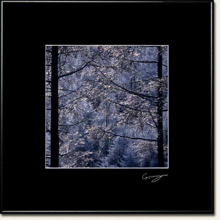 輝くカラマツの霧氷の水滴