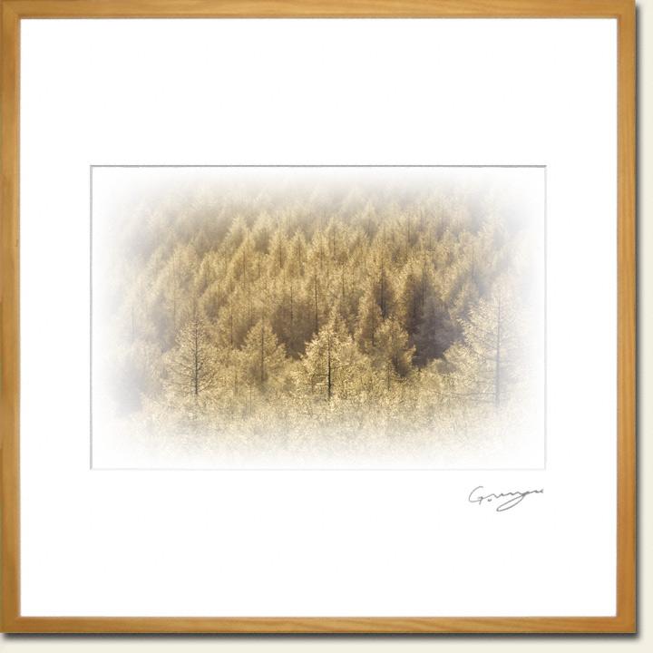 朝日に黄金色に輝く樹氷林