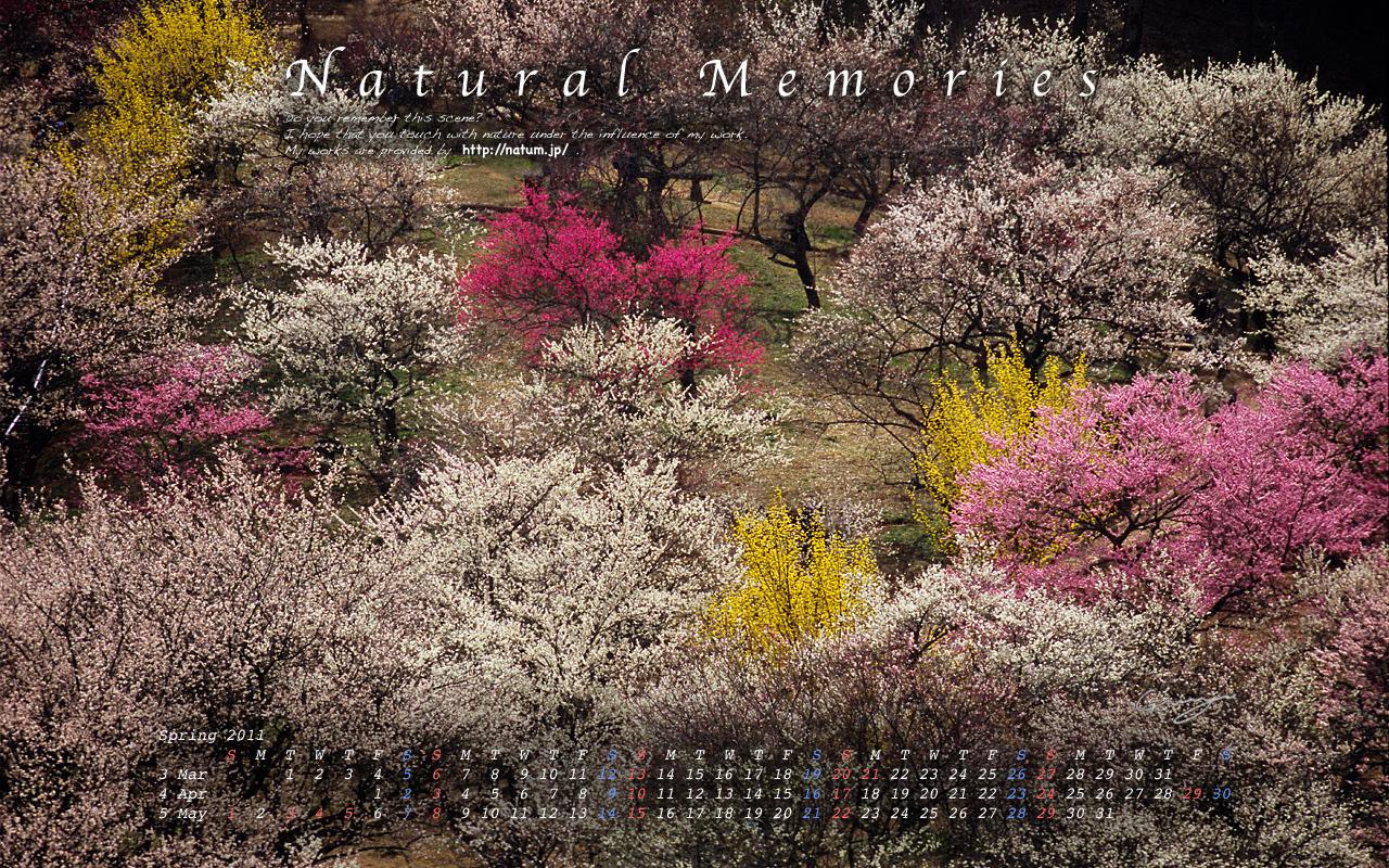 2011春(3月4月5月)カレンダー【梅園の紅白梅とレンギョウ】