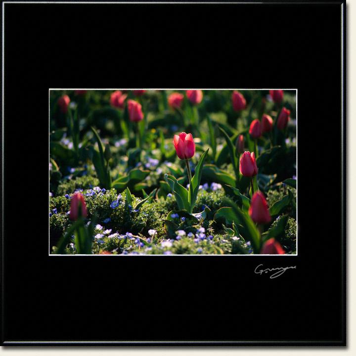 斜陽のチューリップの花壇