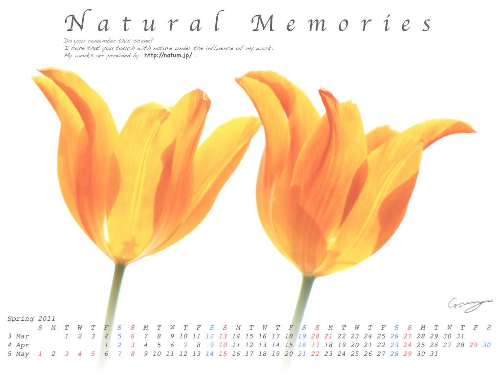 2011春(3月4月5月)カレンダー【透けるオレンジ色のチューリップ】
