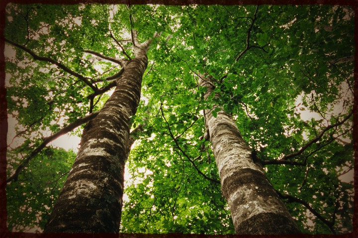 見上げる二本の緑のブナ