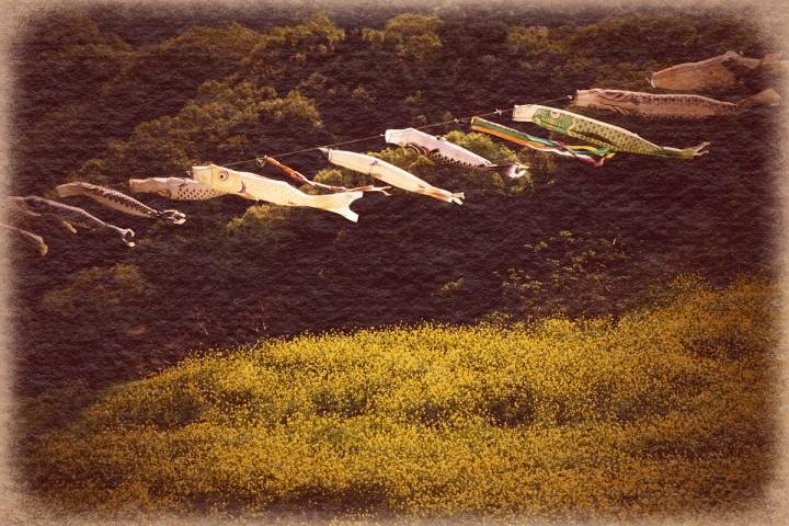 斜陽に輝く菜の花畑と鯉のぼり