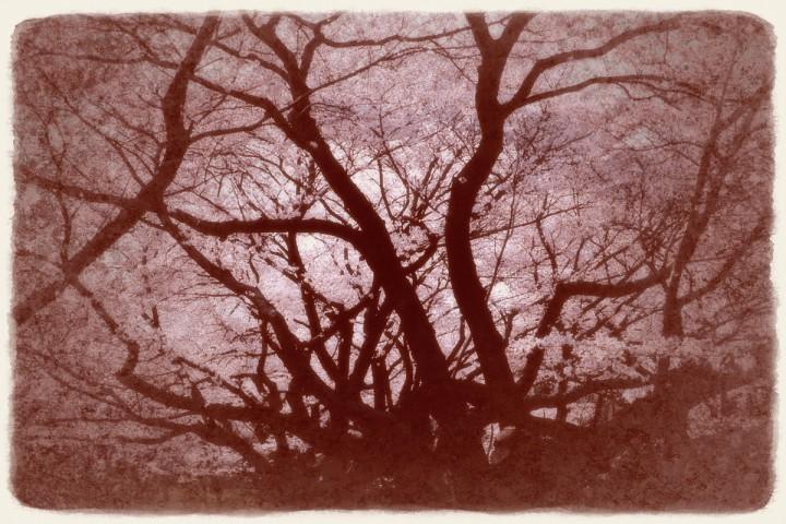 空一面の桜とうねる黒い幹