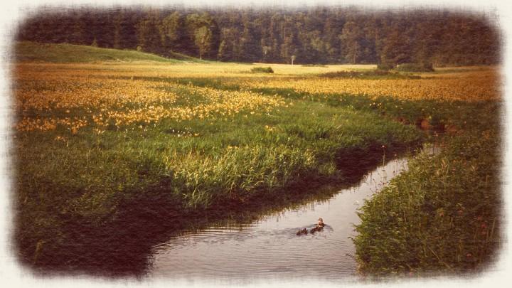 ニッコウキスゲの湿原とカルガモの親子