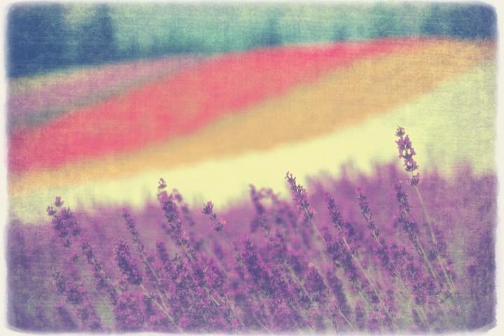 彩りの畑のラベンダー