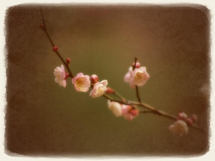 淡い色の紅梅の枝