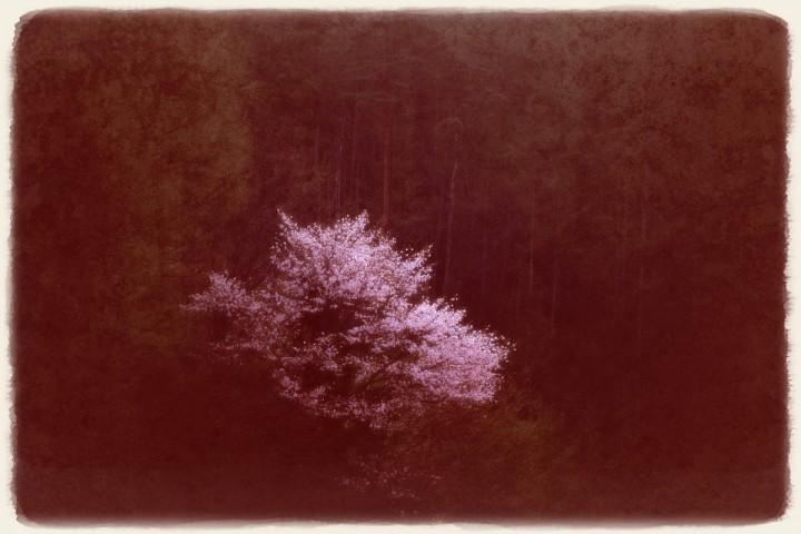 早朝のカラマツの森の山桜