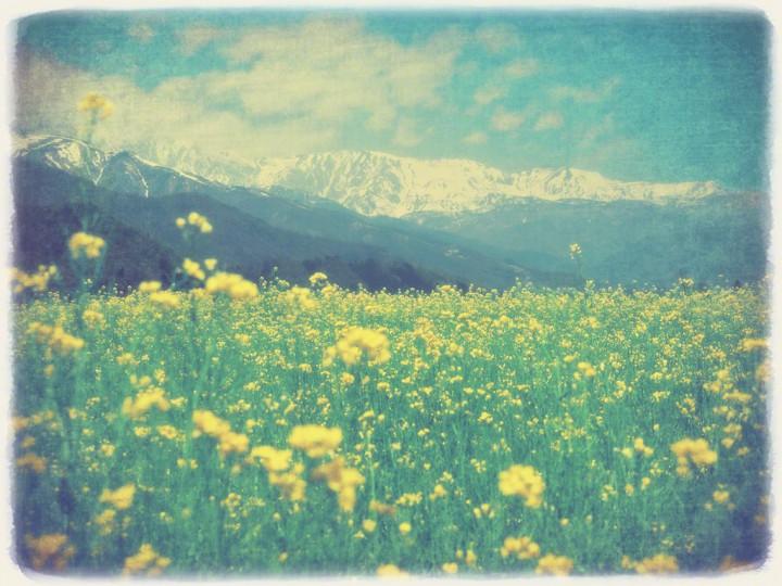 残雪の北アルプスと一面の菜の花