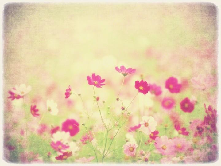 霧の中のコスモス畑の赤い花