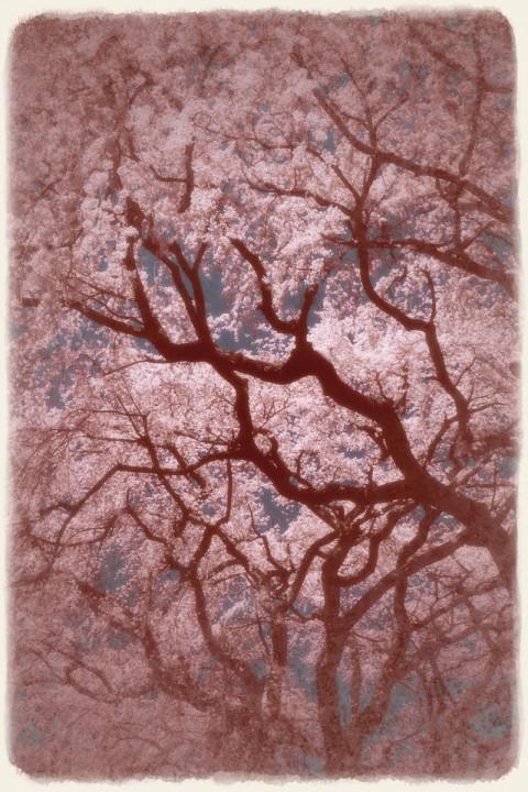 空を埋める一面の桜と黒い幹
