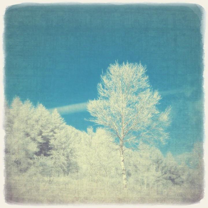 青空と一本の白樺の樹氷とカラマツの稜線