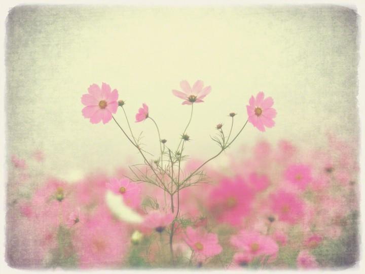 霧空のピンクのコスモス