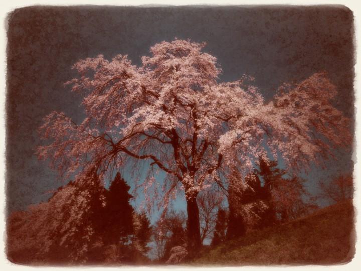 青空と丘の上のしだれ桜
