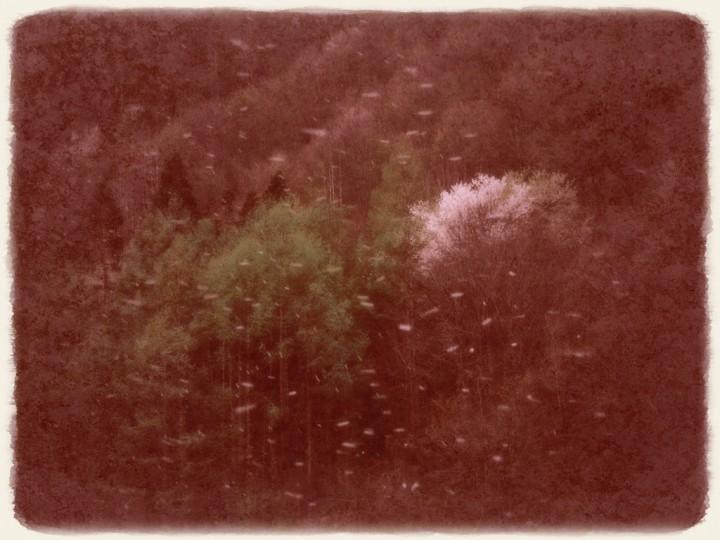 桜吹雪の山桜と新緑のカラマツ