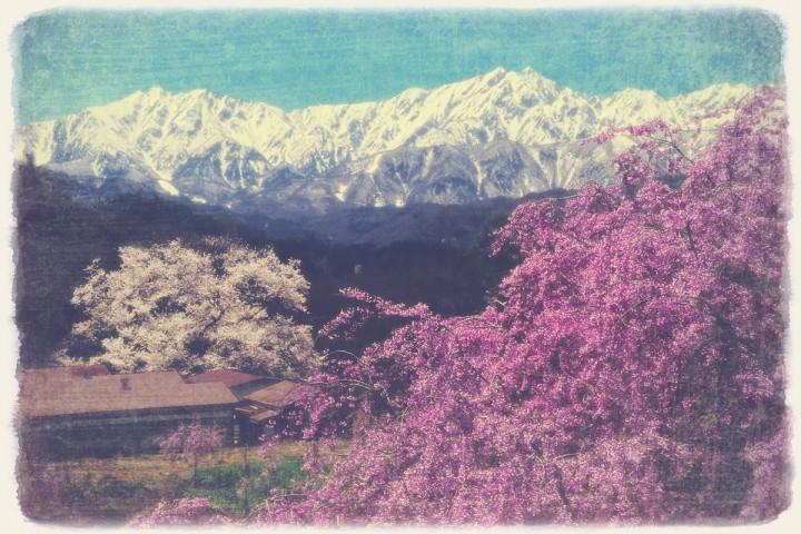 立屋の桜と紅しだれ桜と残雪の北アルプス