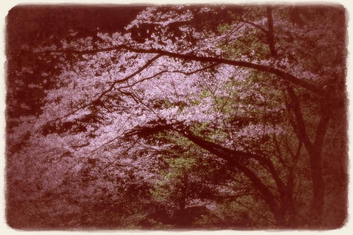 漆黒に輝く桜と新緑