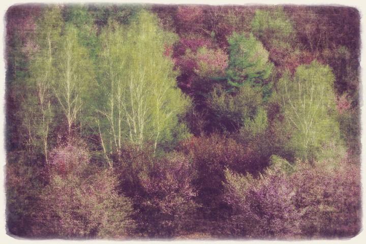 山桜の中の新緑の白樺