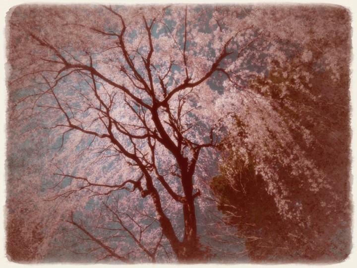 青空を埋める見上げるしだれ桜