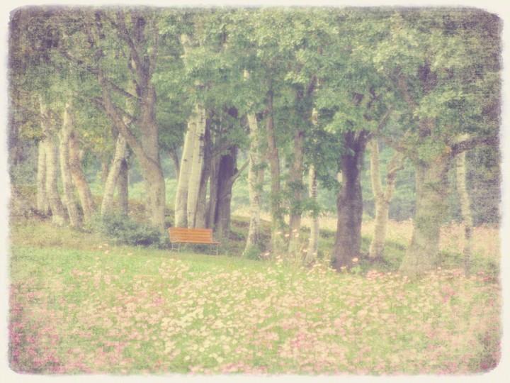 コスモスと白樺林のベンチ
