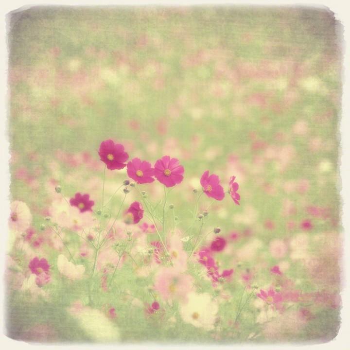 コスモス畑の中の連なる赤い花
