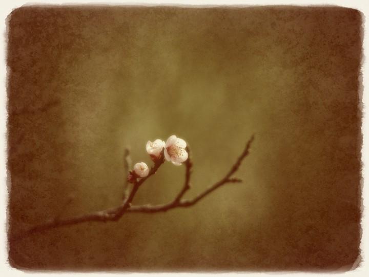 淡い緑の中のほころぶ白梅