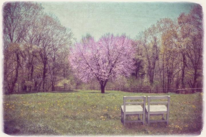 白い椅子と新緑の中のハートの桜の木