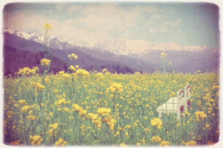 残雪の北アルプスと菜の花畑の中の白い椅子