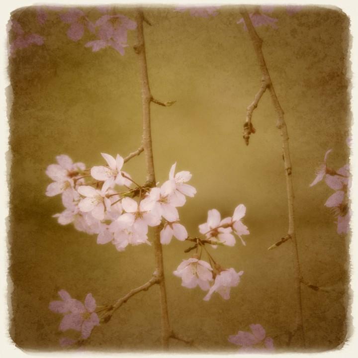 しだれ桜の枝の花
