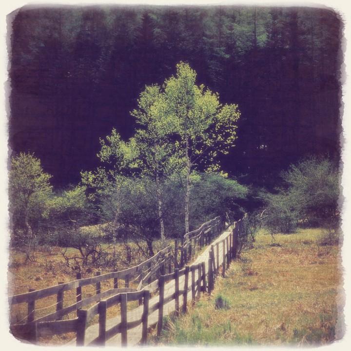 新緑に輝く白樺と光る木道