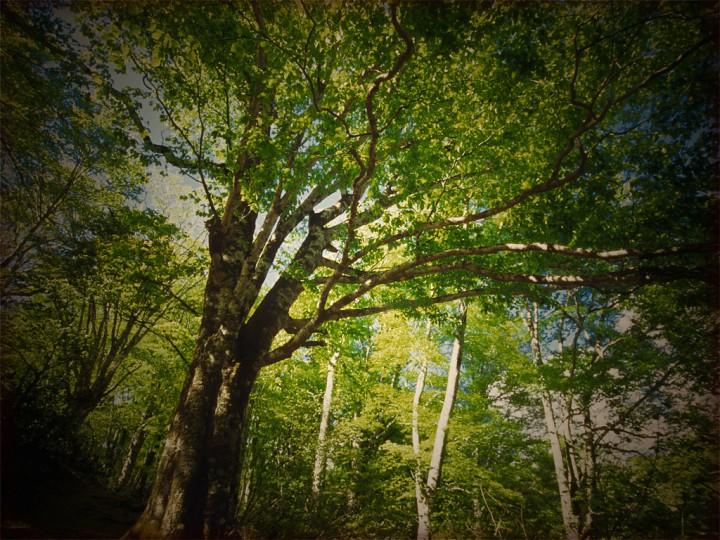 新緑のブナと樹間の青空
