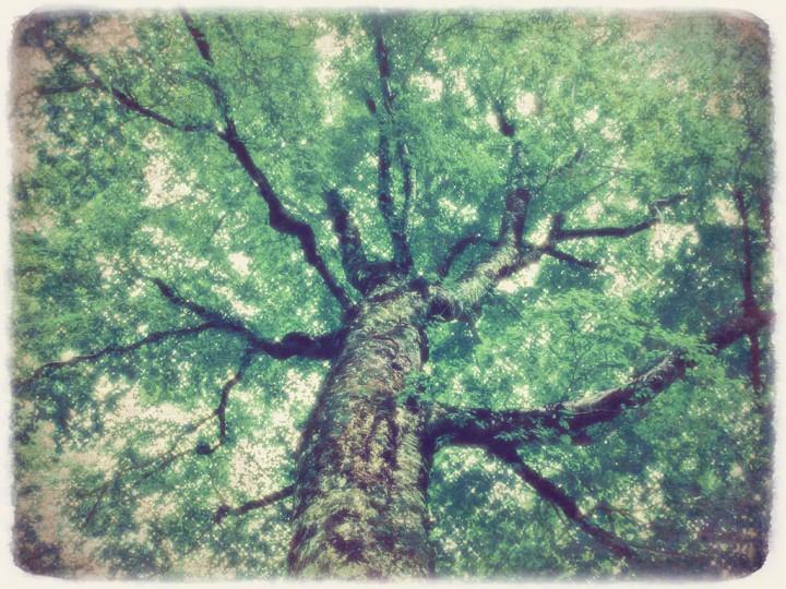 白神山地の新緑のブナのマザーツリー