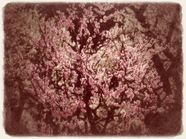 白梅の前で輝く紅梅