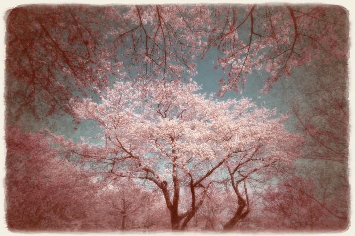 青空にかぶさる桜の林