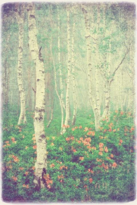 霧の中のレンゲツツジと白樺