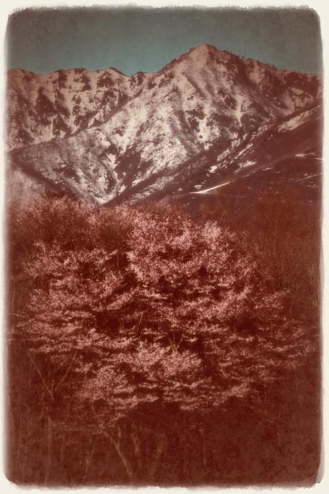 残雪の北アルプスと大山桜