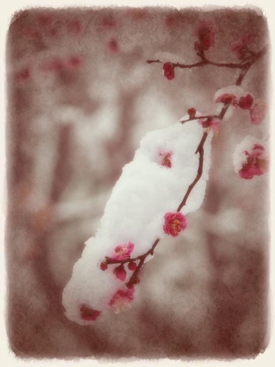 雪に垂れ下がる紅梅の枝