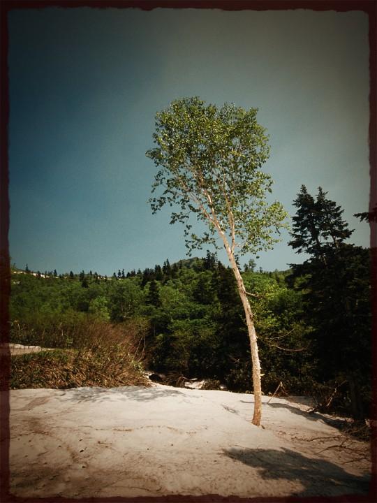 残雪と一本の新緑の白樺