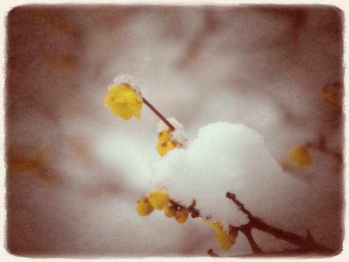 雪を乗せた一輪の黄梅とつぼみ